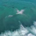 des dauphins surfent sur des vagues