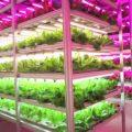 agriculture LED de laitues au Japon