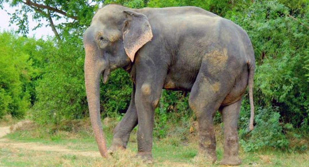 raju elephant