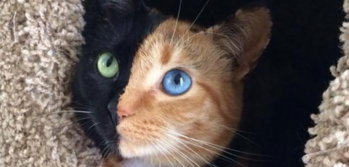 vénus chat double visage
