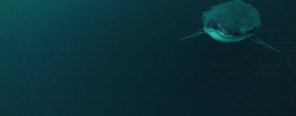 requin blanc remus-100