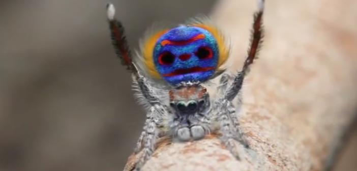 danse araignée paon