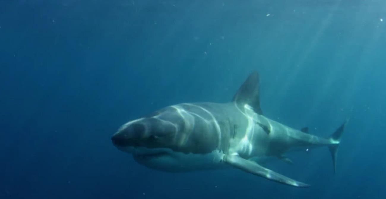 requin blanc disparu