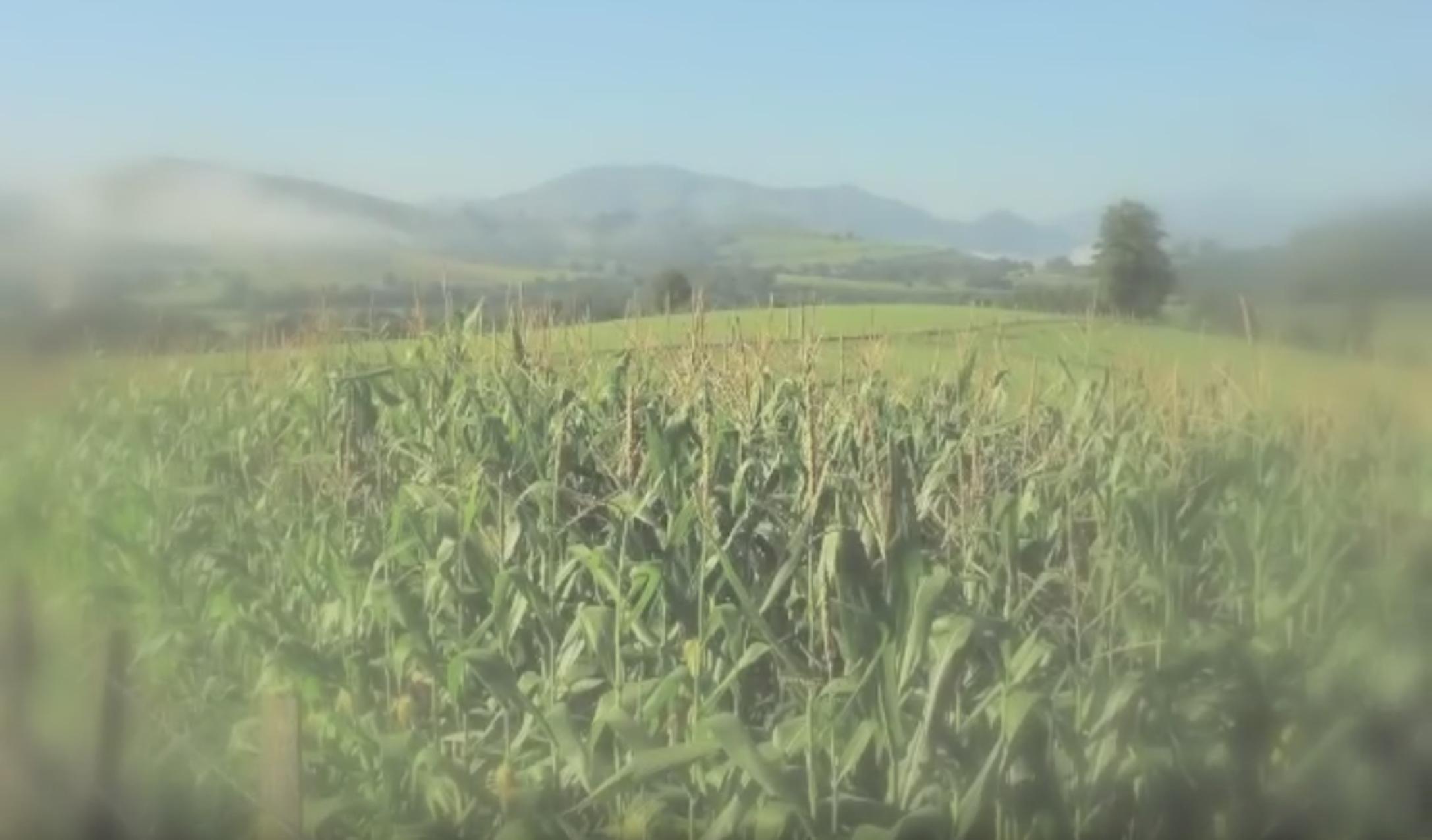la fascinante histoire du maïs